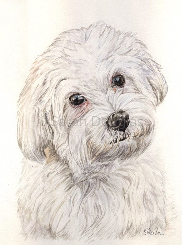 Watercolour pet portrait of maltese bolognese cross by Sarah Douglas