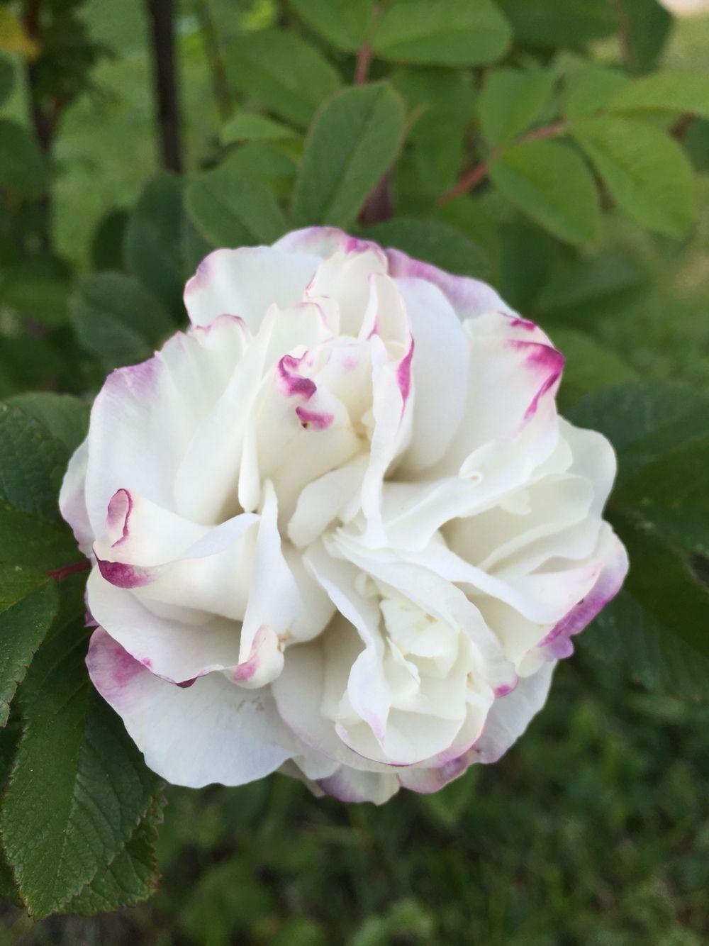 Ruusu kaksivärinen valkoinen pinkki