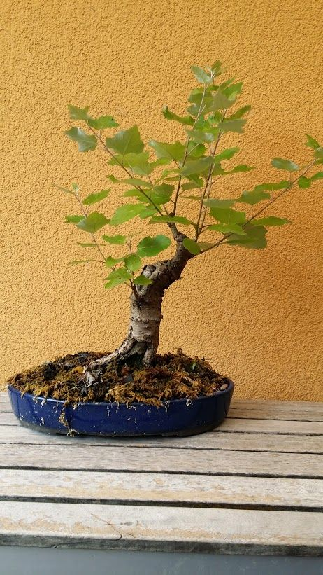 Hansi Fleck   This populus tremula had been collected two years ago. This is its first season in a bonsai pot and I think it develops well. And there is opportunity for some carving as well