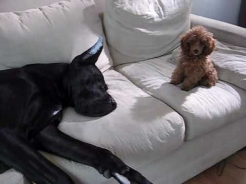 Tiny Poodle Proves He's The One In Charge. You've Gotta See This!