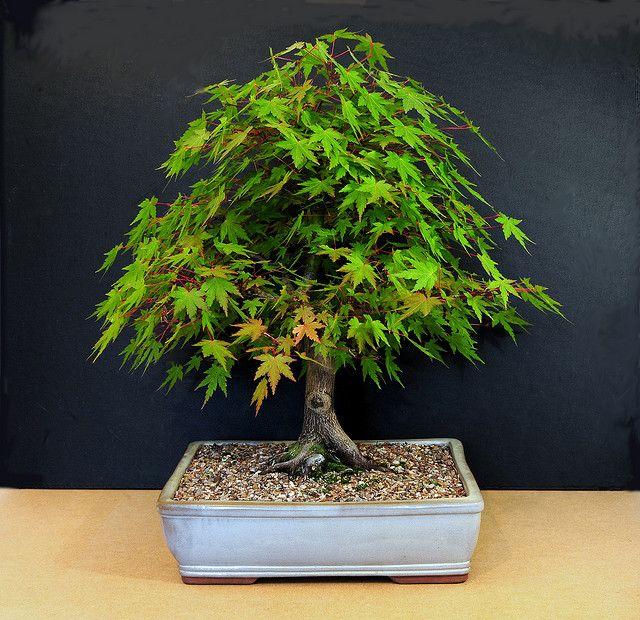 Japanese Mountain Maple Bonsai Tree, Acer palmatum