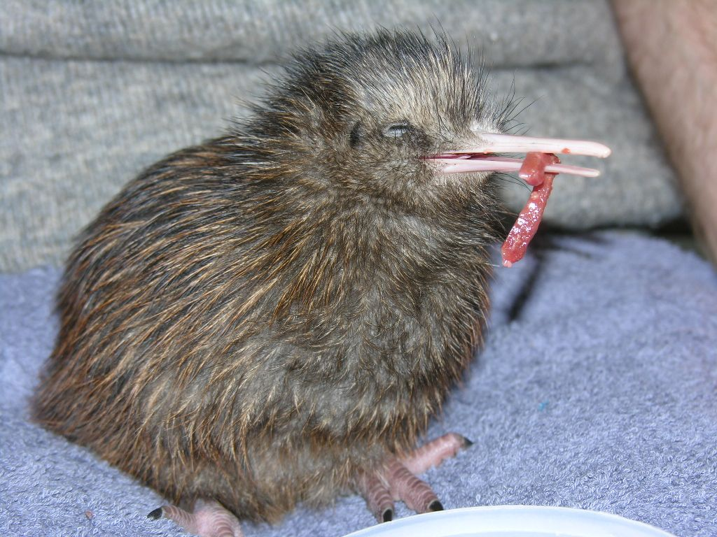 kiwi chick learning to eat solids the kiwi coterie pinterest kiwi bird and animal. Black Bedroom Furniture Sets. Home Design Ideas