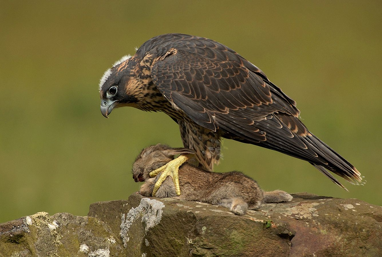 Young Peregrine with prey by Ronald Coulter