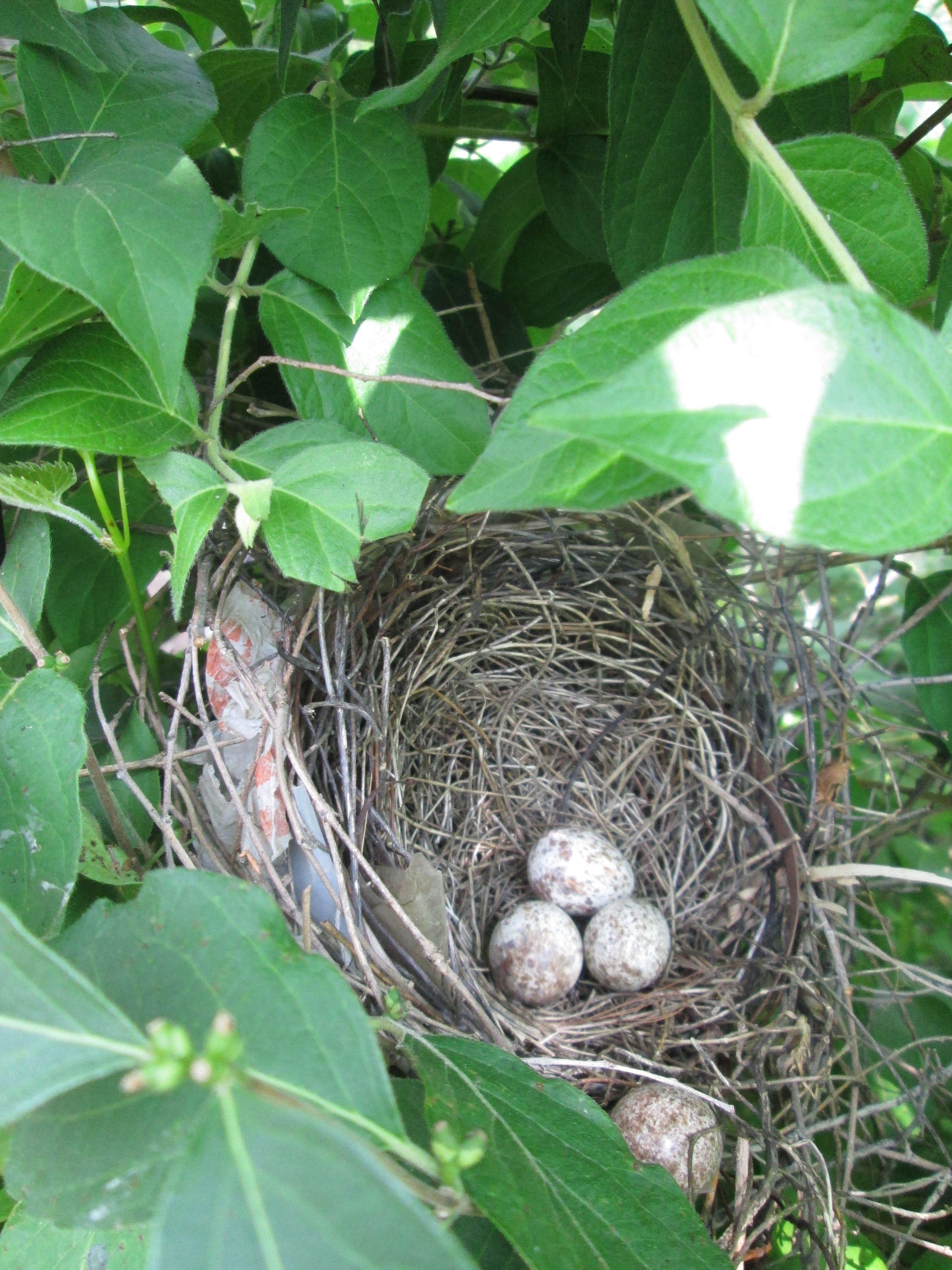 Cardinal Nest Indiana State Bird With Images Birds