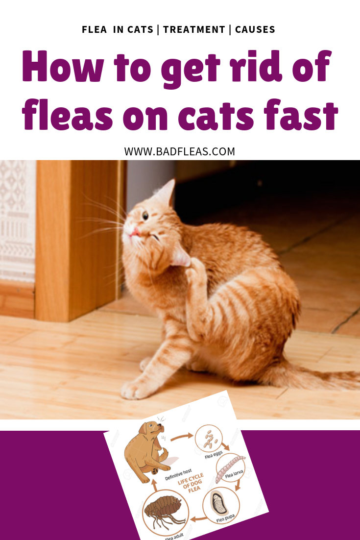 How To Get Rid Of Fleas On Cats Fast Cats Cat Fleas Cat Care