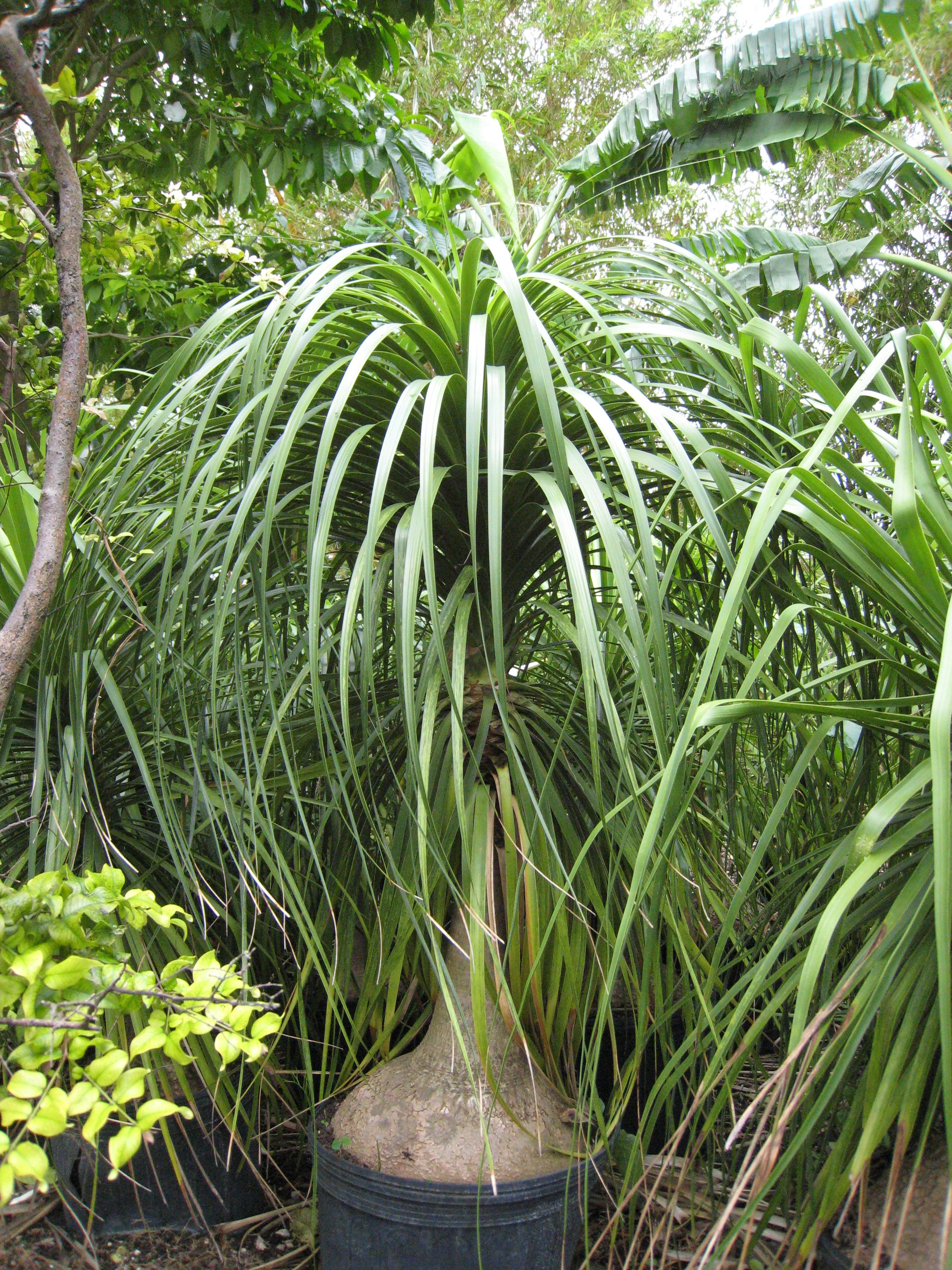 image detail for beaucarnea recurvata ponytail palm1