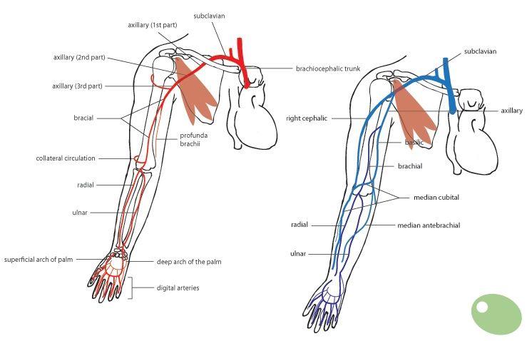 arm vasculature anatomy - google search   medical ... diagram idler arm
