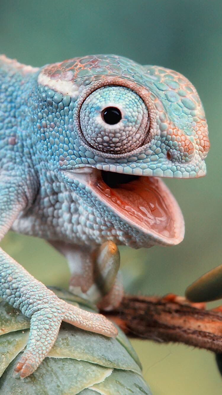 Iphone And Android Wallpapers Chameleon Wallpaper For