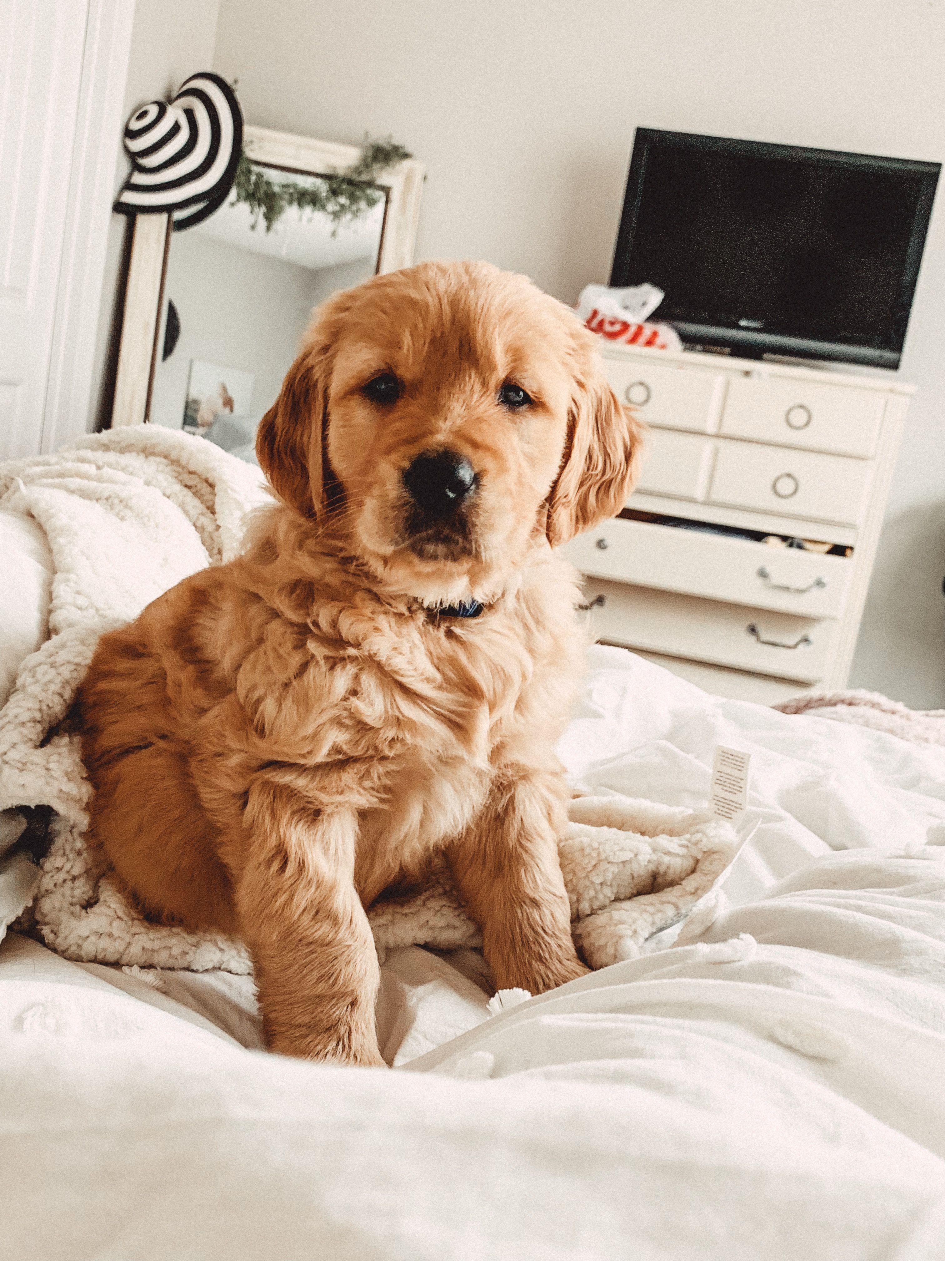 Golden Retriever Puppy Follow Dude On Insta Www Instagram Com