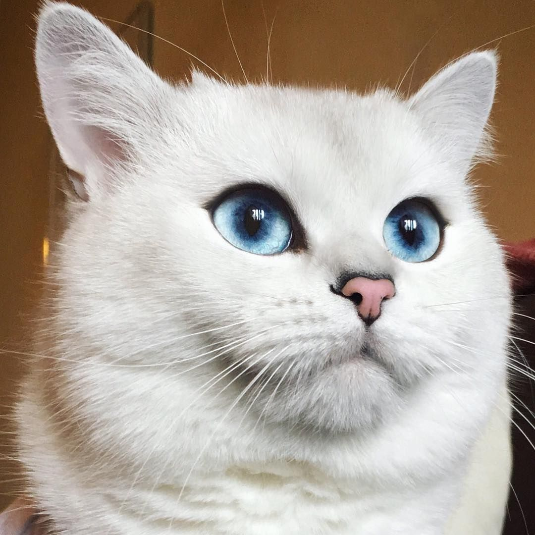 Vote Coby for 2020. cobyforpresident... Beautiful cats