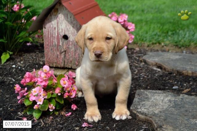 Labrador Retriever Puppy For Sale In Ohio Buckeyepupppies Labrador Retriever Puppies Labrador Retriever Dog Training