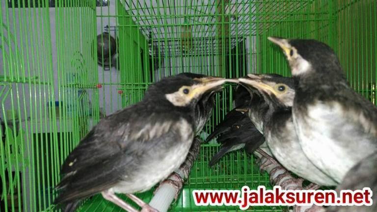 Ud Jalak Suren Klaten Jalak Burung