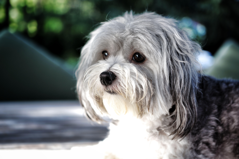 Love This Grey Color Havanese Flauschige Hunde Havaneser Hund