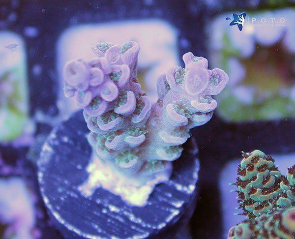 Snow White Tenuis Get You Bid In Link Http Ift Tt 2ixb4ws Potoauction Poto Piecesoftheocean Auction Reefaqua Reef Aquarium Saltwater Tank Reef Tank
