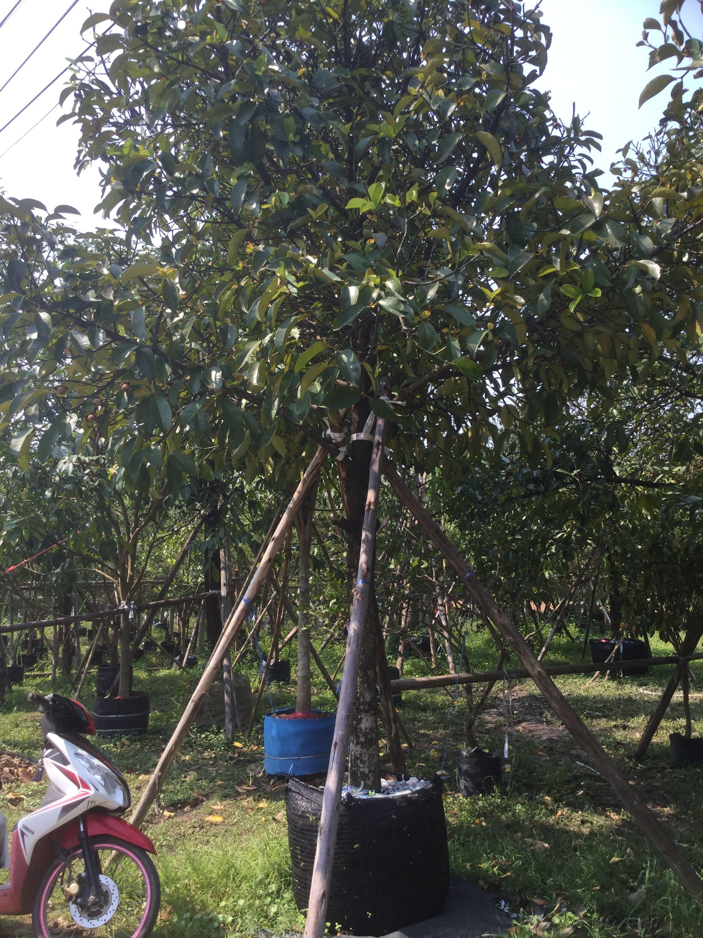 ปักพินโดย Tree&Garden ใน ไม้ล้อม ผลไม้ พันธ์ุไม้ ผลไม้