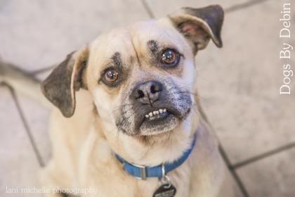 1 7 Petango Com Meet Professor Pancake A 4 Years Pug Beagle