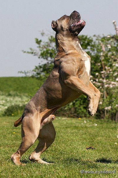 Cane Corso From Russia Beautiful Specimen Perros Enormes