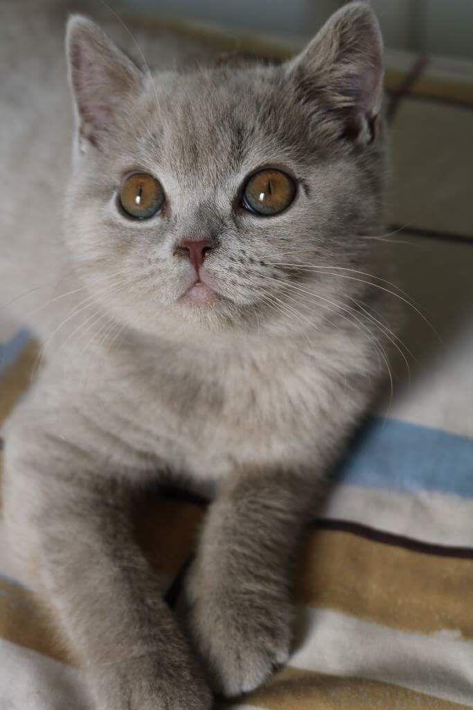 Pin By Dimitra Perisanidou On Elton John British Shorthair Cats