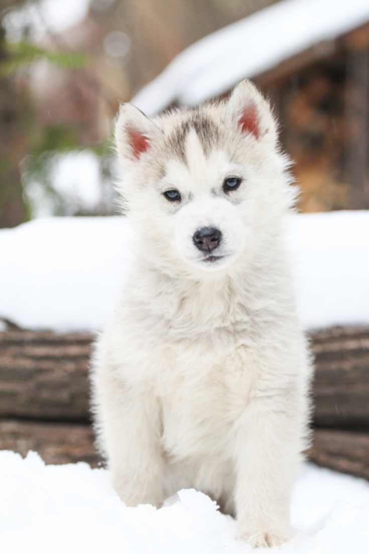 Siberian Husky Puppy Siberianhusky White Siberian Husky Husky Puppy Siberian Husky