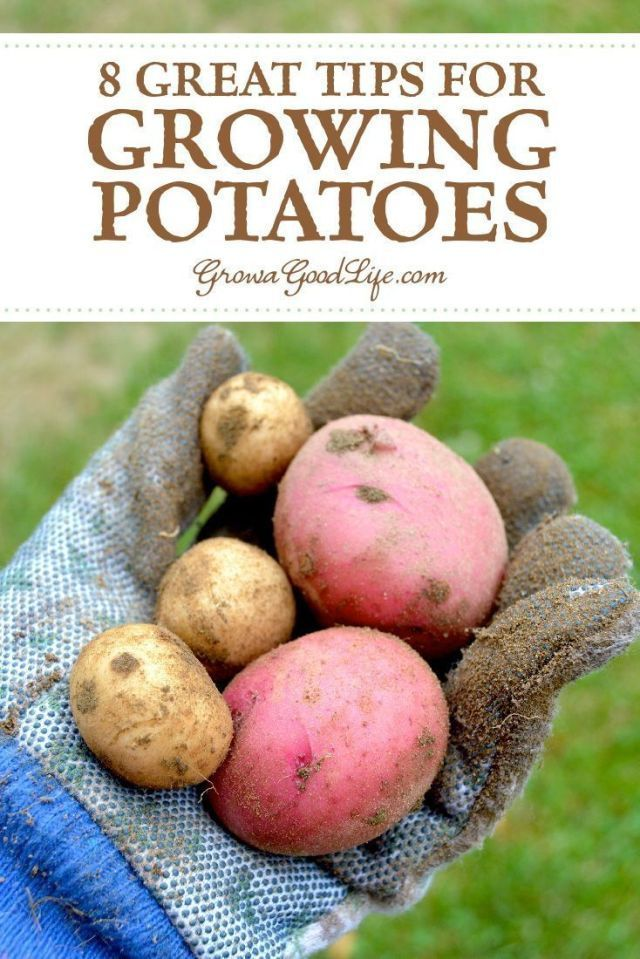 8 Great Tips for Growing Potatoes #Great #Growing #Potatoes #Tips #growingpotatoes 8 Great Tips for Growing Potatoes  #Great #Growing #Potatoes #Tips #growingpotatoes