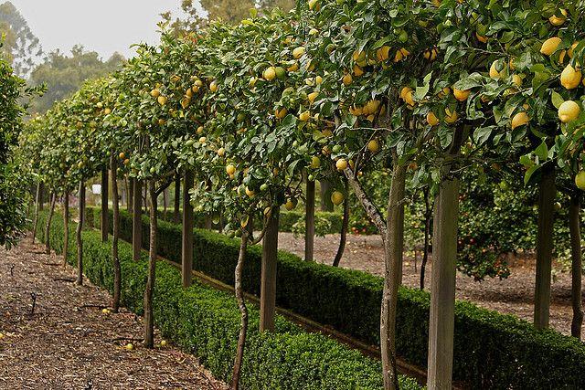 Lemon Arbor Espalier Fruit Trees Landscape Trees Garden Trees
