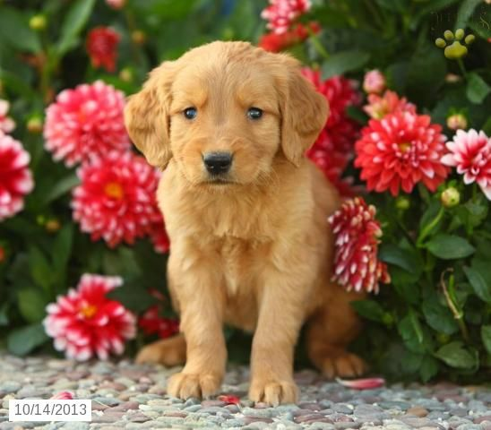 Max Golden Retriever Puppy For Sale In East Earl Pa Golden