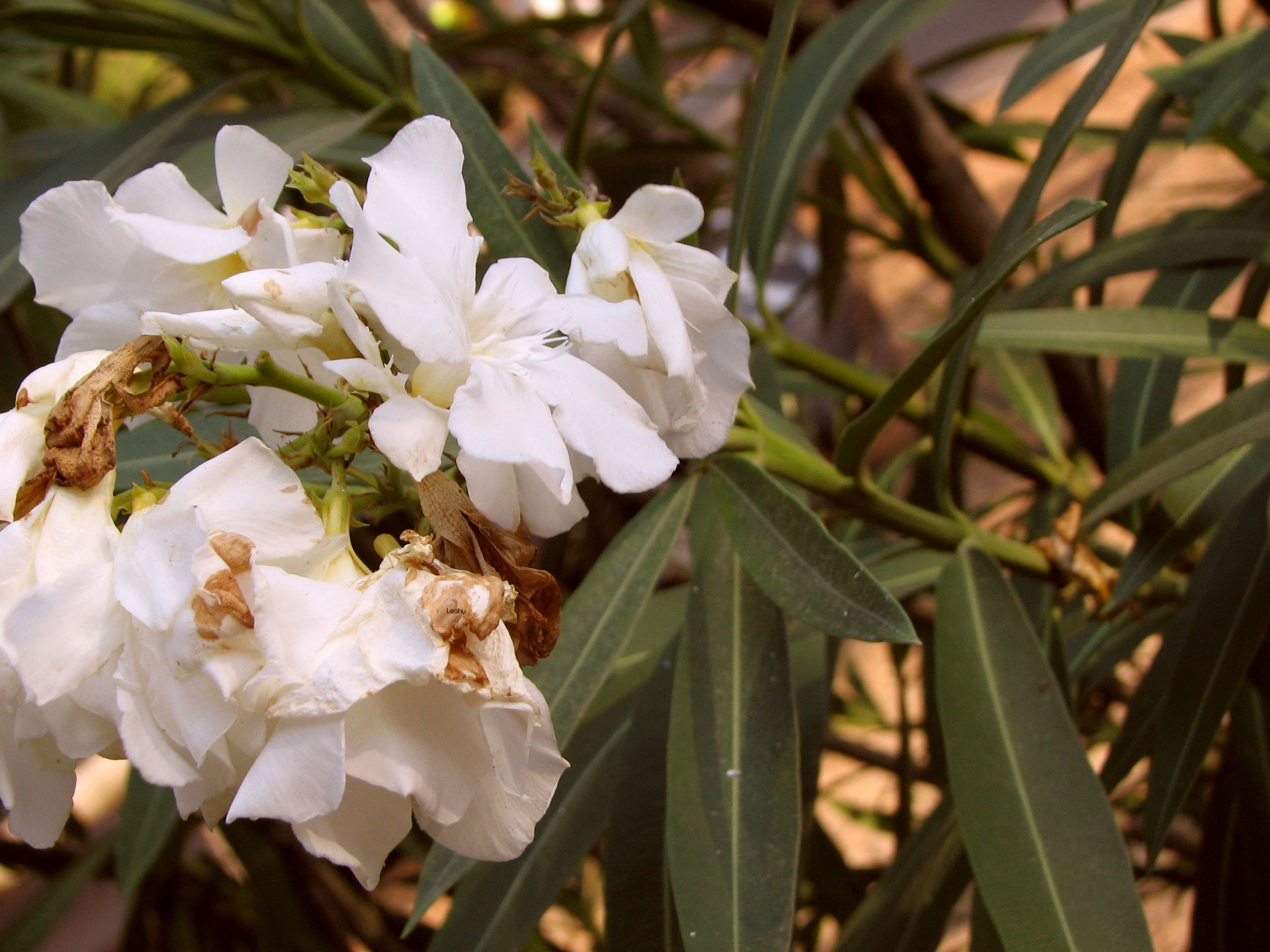 White Oleander Flowers Pinterest White Oleander