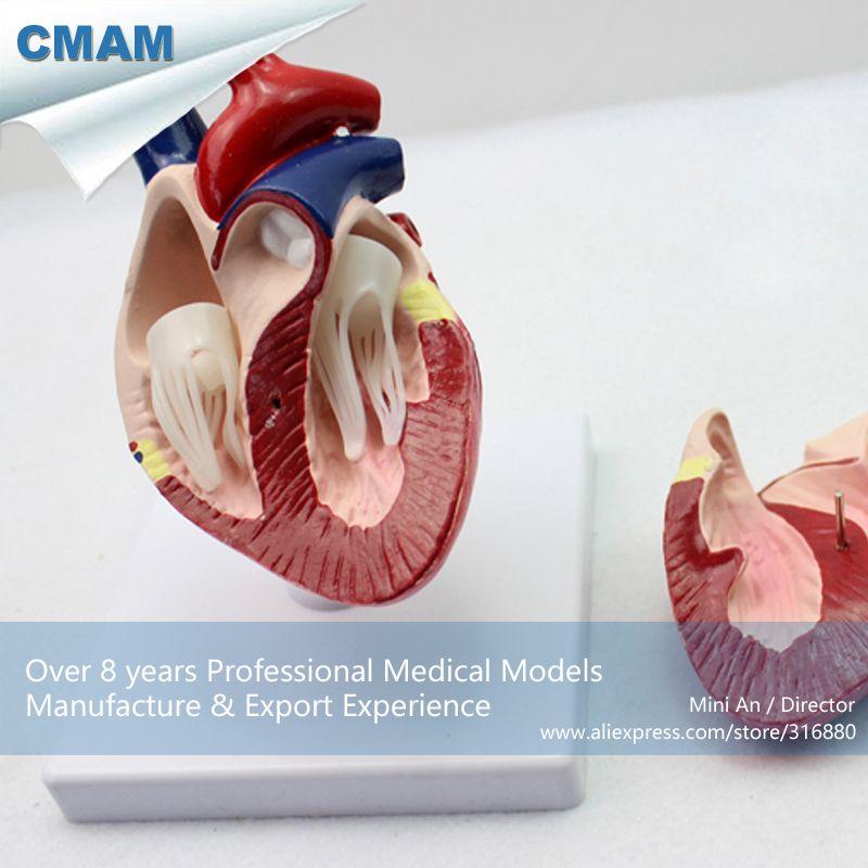 CMAM-A06 Dog Heart Model , Animal Anatomical Models for ...