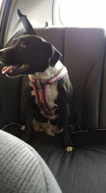 Missing Dog Tylie Kennington Bendigo Victoria Victoria Bendigo