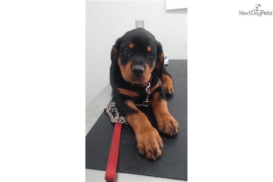 Meet frieden boy a cute rottweiler puppy for sale for 800