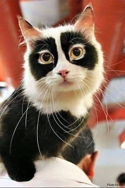 This Panda Cat must have a secret identity ...