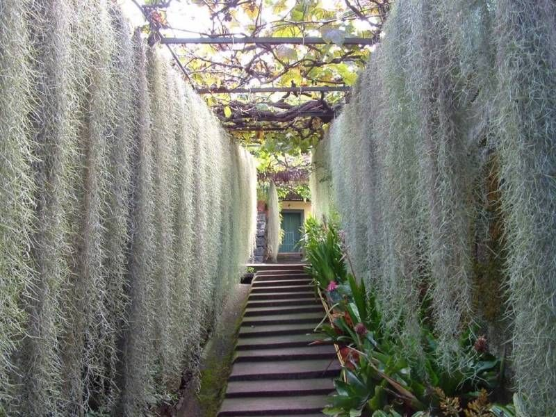how to grow spanish moss in australia