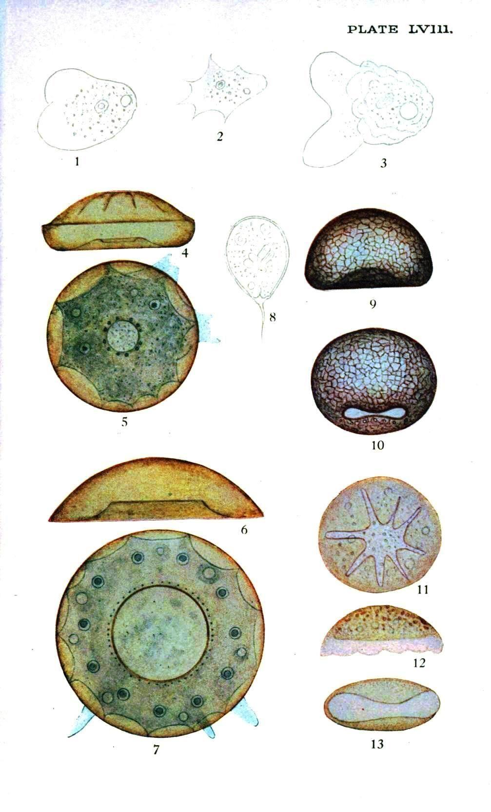 microscopic amoeba british biology art pinterest biology art