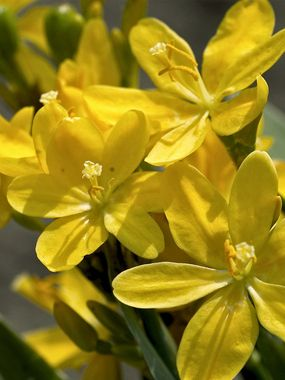 Bright Yellow Star Shaped Flowers Into Late Fallattracts