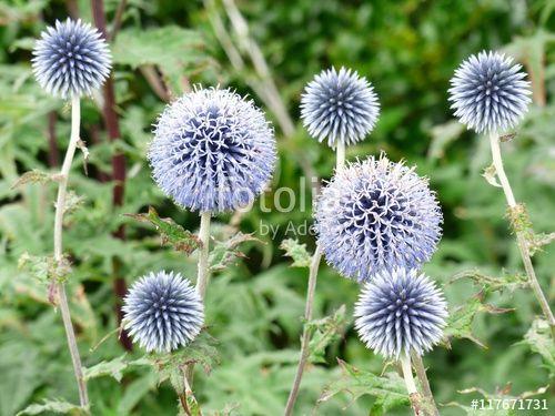 Blauliche Edeldistel Auch Mannstreu Oder Eryngium Genannt In Einem Garten In Wettenberg Krofdorf Gleiberg Bei Giessen In Hesse Edeldistel Schone Blumen Garten