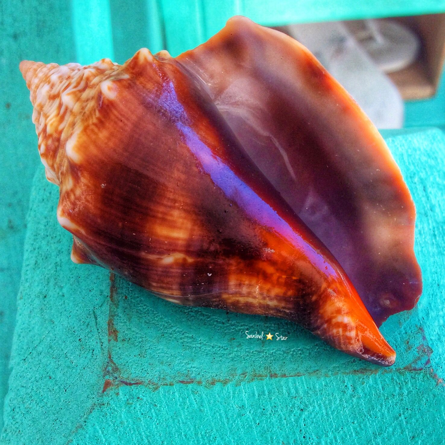Conch country sanibelstar conch seashell seashells conch country sanibelstar conch seashell biocorpaavc Choice Image