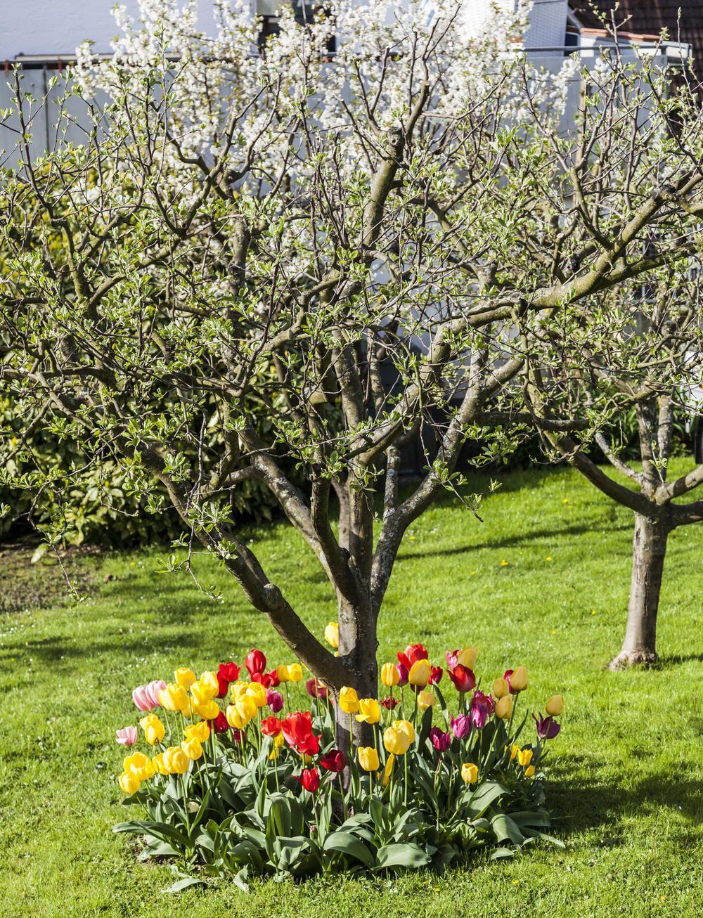 Tulpen Pflanzen So Setzen Sie Die Zwiebeln Richtig Tulpen Pflanzen Pflanzen Tulpenzwiebeln