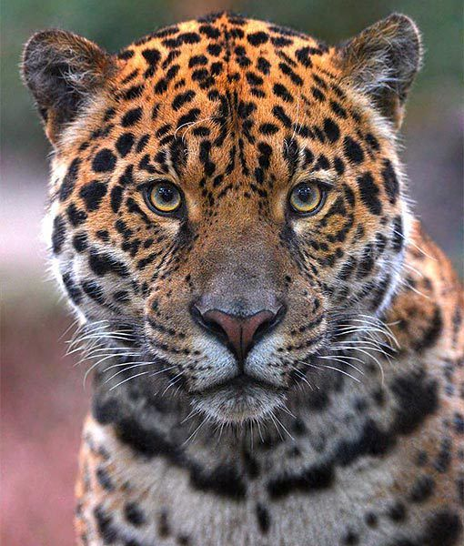 At The Chester Zoo In The U K Napo The Stunning New Jaguar Has Just Made Himself At Home He S Gorgeous Animals Chester Zoo Animal Pictures