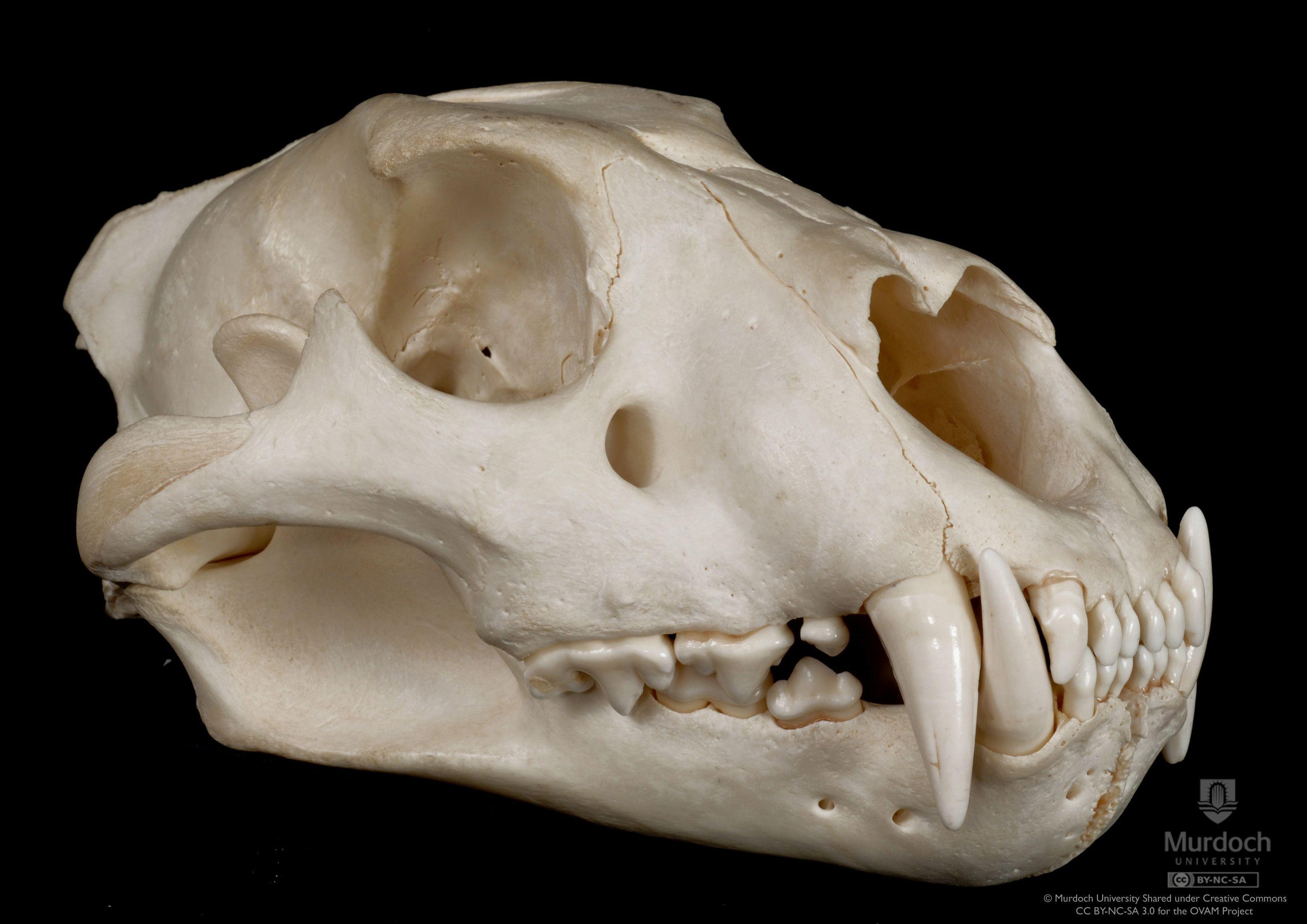 lion jaw bone - Google Search   Bones   Pinterest   Lions, Animal ...