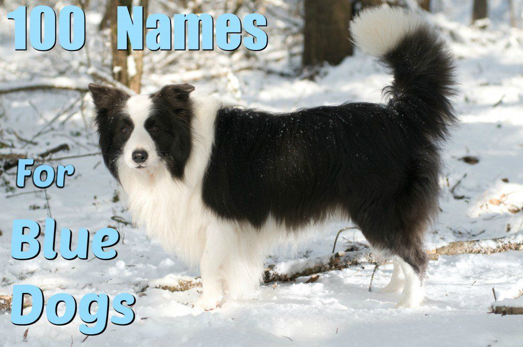 Discover Over 100 Unique Names For Silver Gray And Blue Dogs