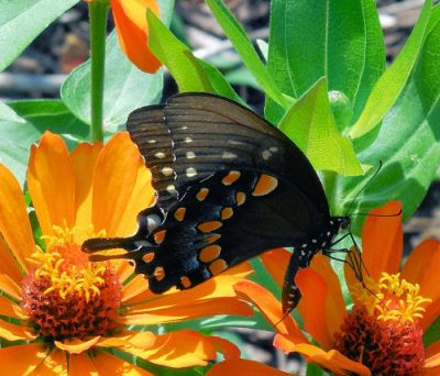 Butterfly on my zinnias - The Gardening Cook obviously has some great plants that are attracting these fabulous butterflies to her garden...