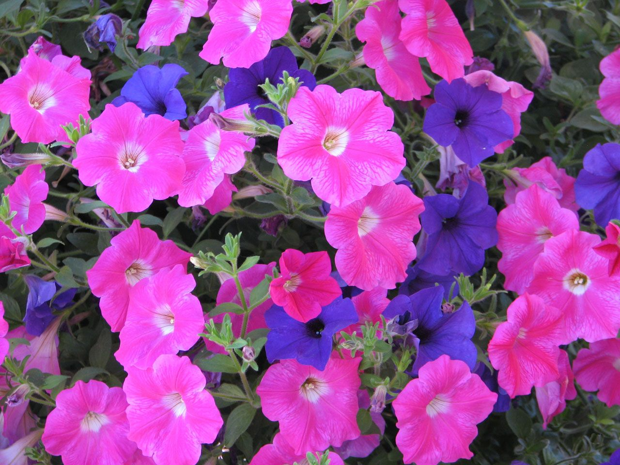 Petunias pink purple royalty free stock photos all pictures are pink and purple together mightylinksfo