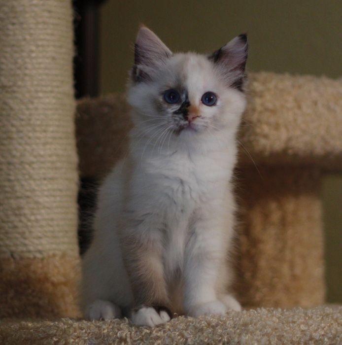 Ragdoll Kittens for Sale - Little Apple Ragdolls in