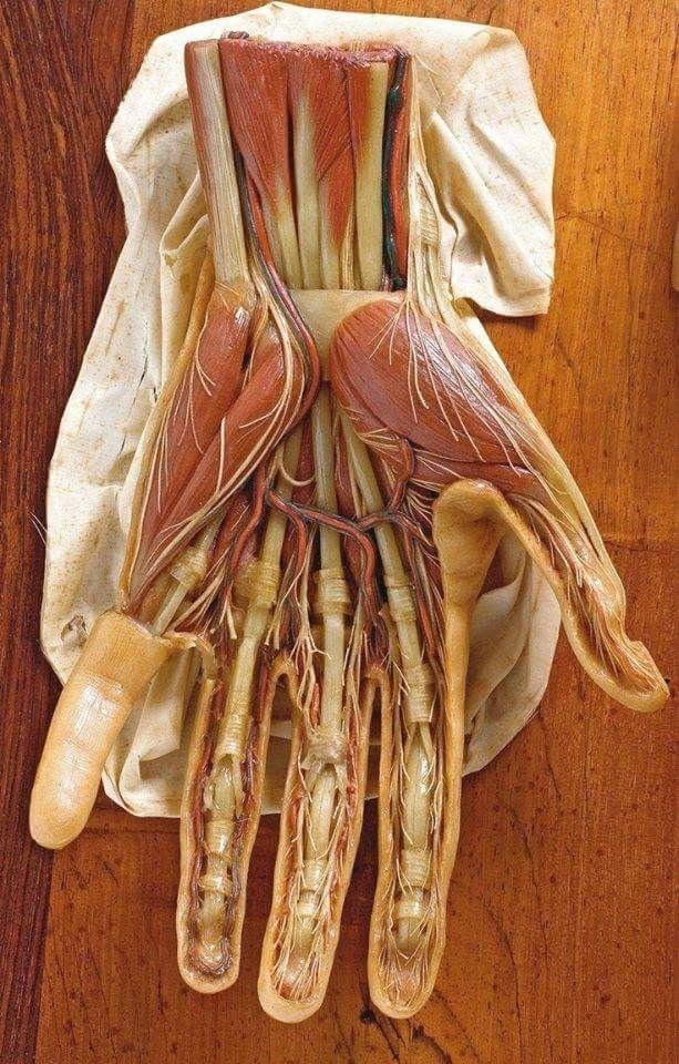 Modelo de cera mostrando la anatomía de la mano humana. Creado ...
