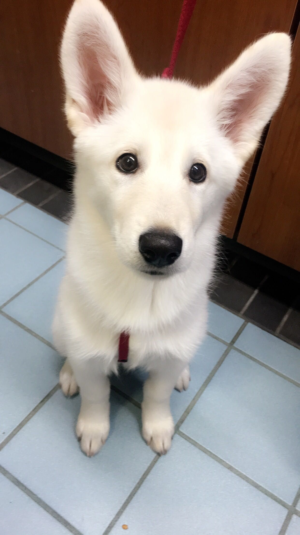 My 2 Month Old Rare White German Shepherd German Shepherd