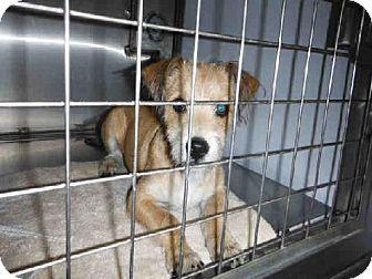 San Jose Ca Norfolk Terrier Mix Meet Mikey A Puppy For Adoption