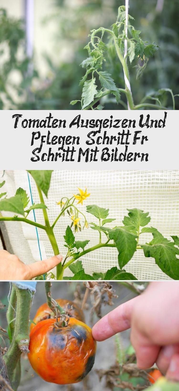 Tomaten Ausgeizen Und Pflegen Schritt Fur Schritt Mit Bildern Tomaten Pflanzen Pflanzideen Pflanzen