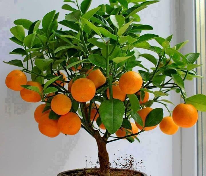 Rp Calamondin Orange Citrus Mitis Potted Fruit Trees Bonsai Fruit Tree Dwarf Fruit Trees