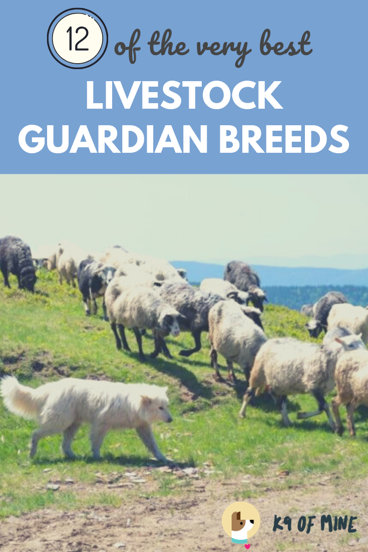 12 Best Livestock Guardian Dogs Canines Who Keep Farm Animals Safe In 2020 Livestock Guardian Livestock Guardian Dog Best Farm Dogs