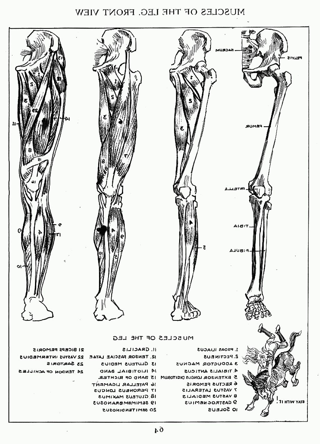 Andrew Loomis Muscles Of The Left Leg Front Anatomy Pinterest